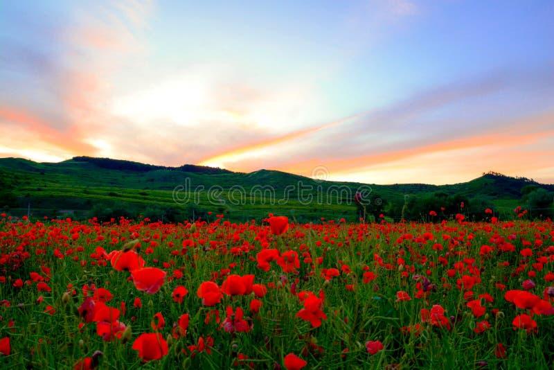 Vallmofält i solnedgång royaltyfria bilder