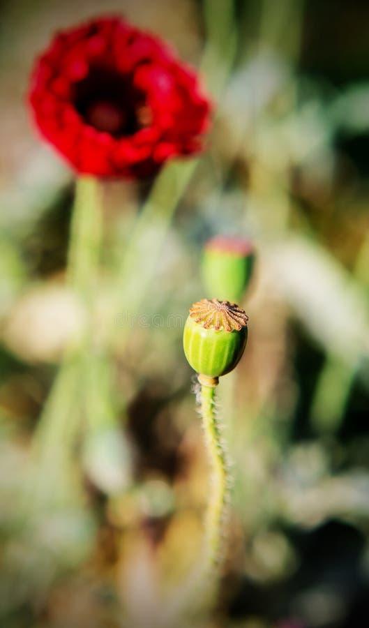 Vallmohuvud, opiumväxt royaltyfria foton