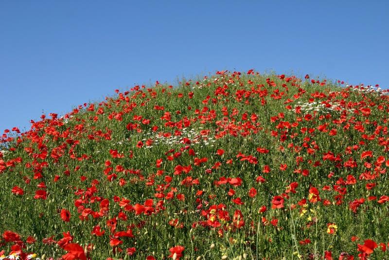 Download Vallmor arkivfoto. Bild av fält, vallmo, leaves, close - 996124