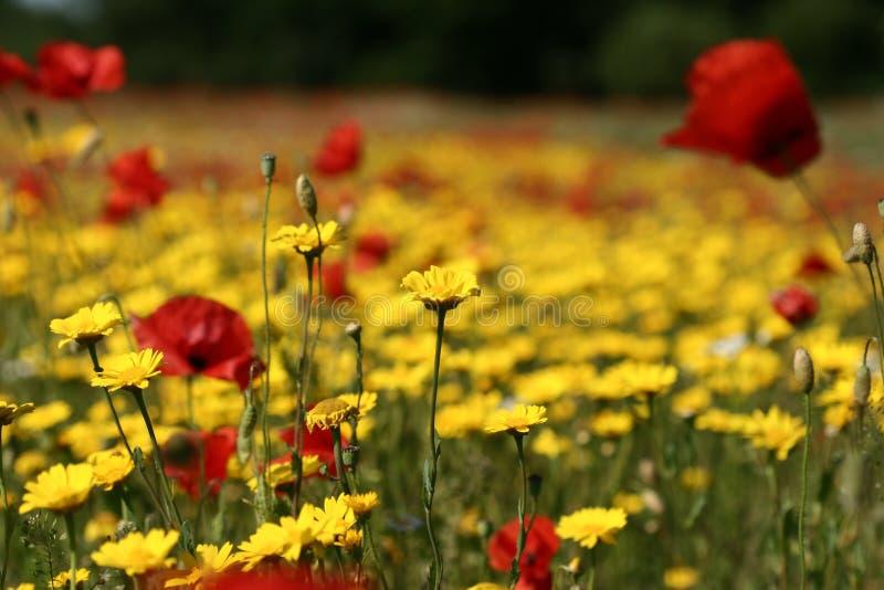 Download Vallmor fotografering för bildbyråer. Bild av färger, blomma - 996207