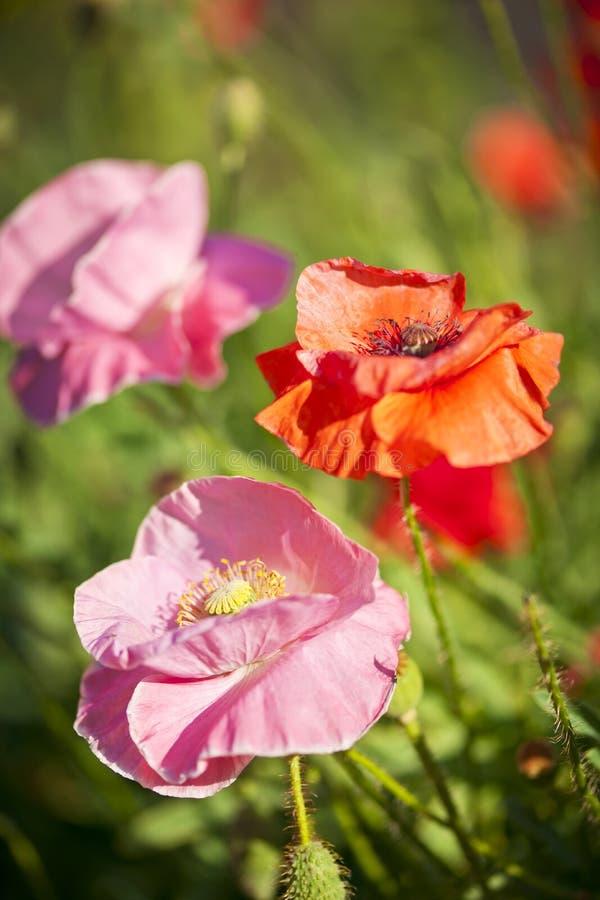 Vallmor i en trädgård fotografering för bildbyråer