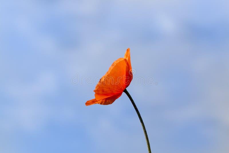 vallmored för blomma en royaltyfria bilder