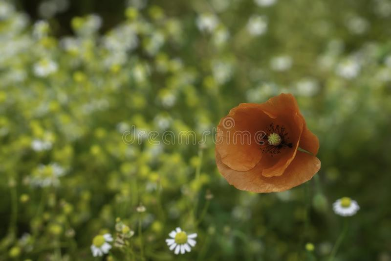 vallmored f?r blomma en arkivfoton