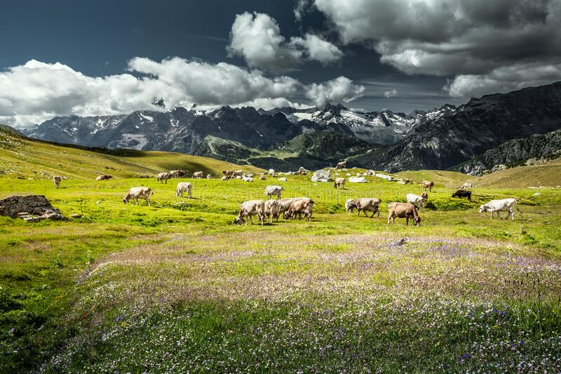 Valmalenco IT - grazing cows. In high mountain stock photo