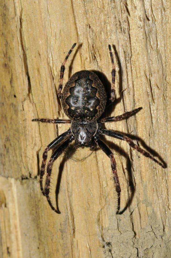 ValnötOrb-vävare spindel arkivfoton