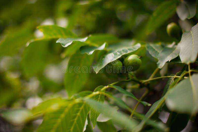 Valnötter på en tree royaltyfri fotografi