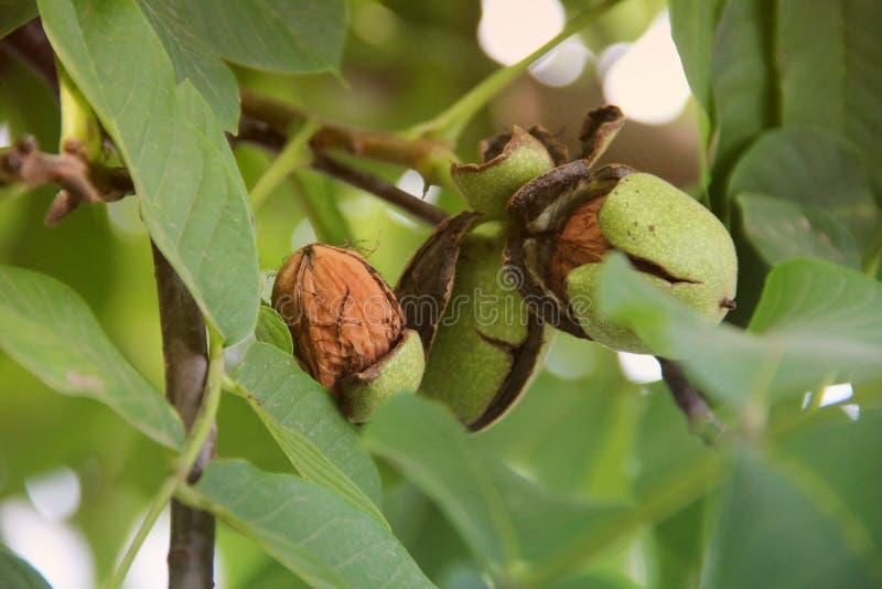 Valnötter på treen Grönt valnötträd royaltyfri fotografi