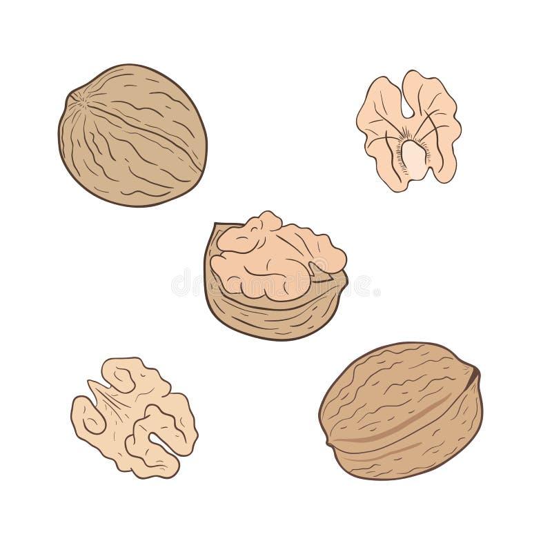 Valnötter Uppsättning av vektorvalnötter som beskjutas och som är hel stock illustrationer