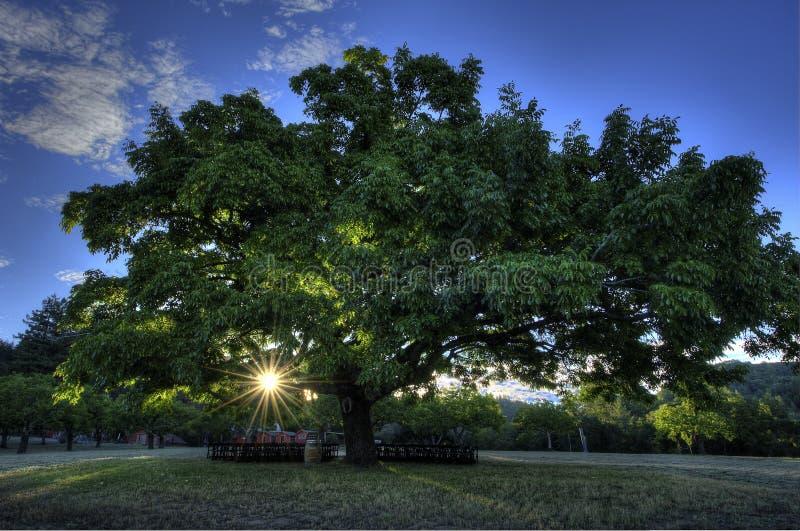Valnötträd royaltyfria bilder