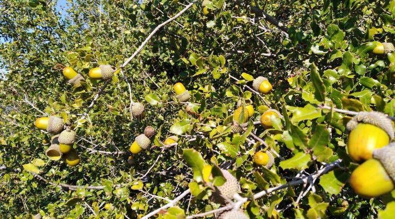 Download Valonia oak stock image. Image of esenler, jpeg, n, trees - 110550769