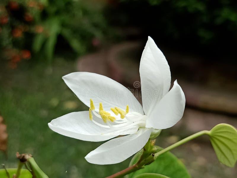 Valor de aumento bonito do jardim da flor branca tropical de Giloy imagens de stock