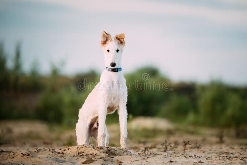 Valp av ryska vinthunden som jagar den Sighthound Russkaya Psovaya Borzaya hunden royaltyfria bilder