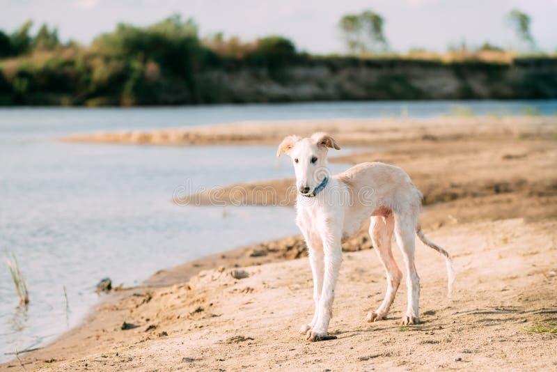 Valp av ryska vinthunden som jagar Sighthound Russkaya Psovaya Borzaya royaltyfri foto