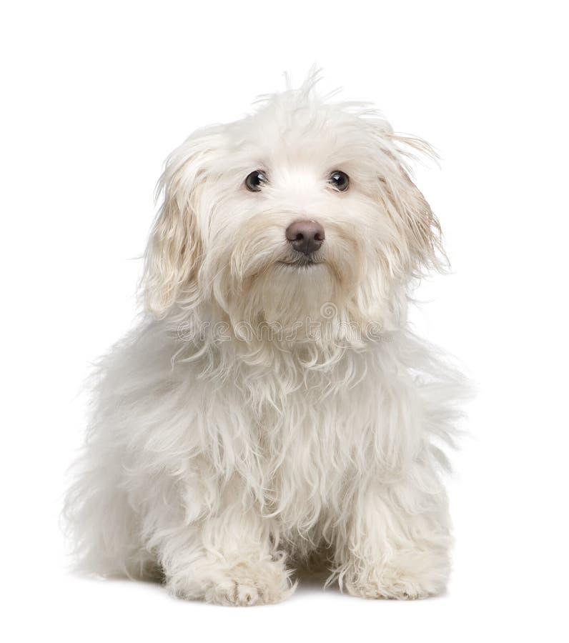 valp för 5 månader för hund maltese royaltyfria foton