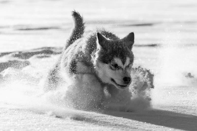 Valp för alaskabo malamute som spelar i snön arkivfoto