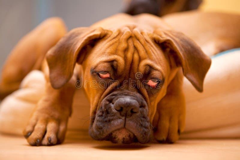 valp för bakrus för boxarehund tysk royaltyfri bild