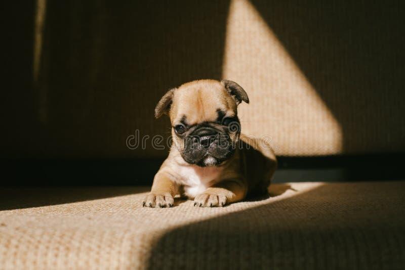Valp för fransk bulldogg på soffan royaltyfri fotografi