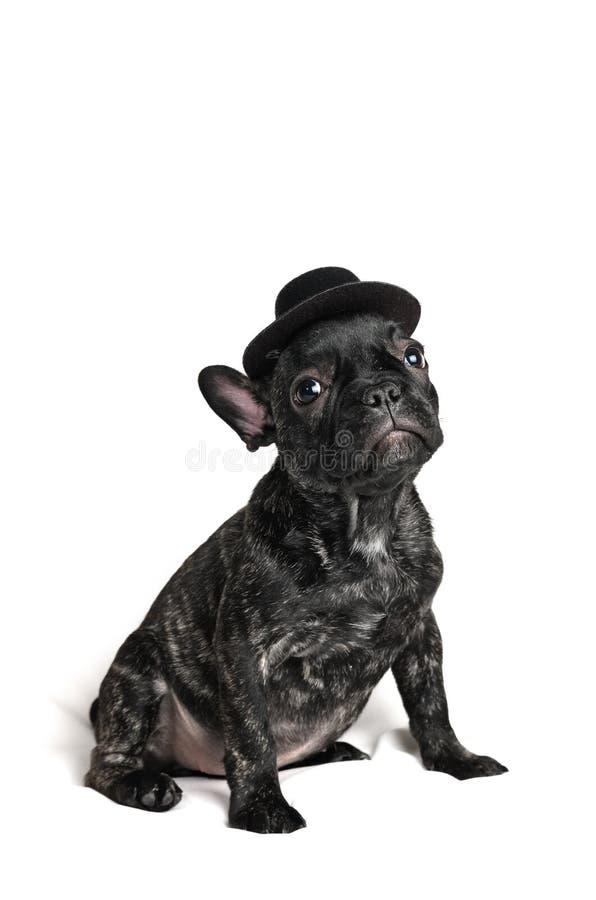 Valp för fransk bulldogg som bär en hatt över vit bakgrund royaltyfria foton