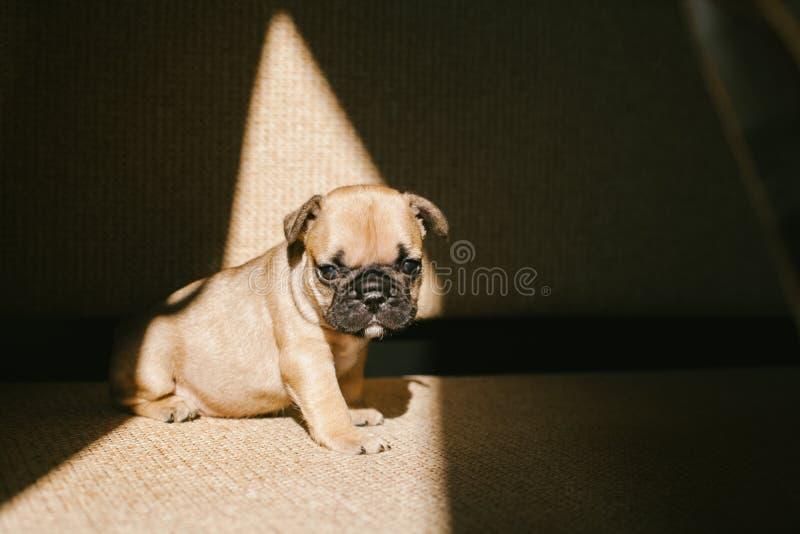 Valp f?r fransk bulldogg som sitter p? soffan arkivfoton