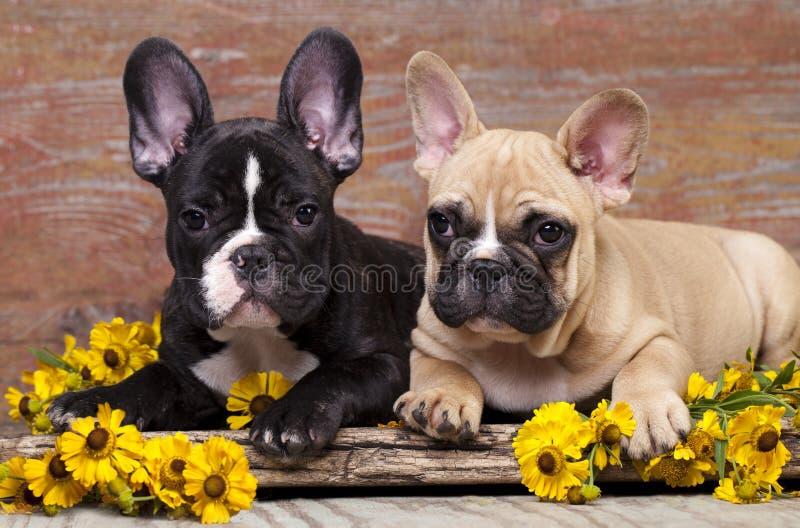 Valp för franska bulldoggar royaltyfria foton