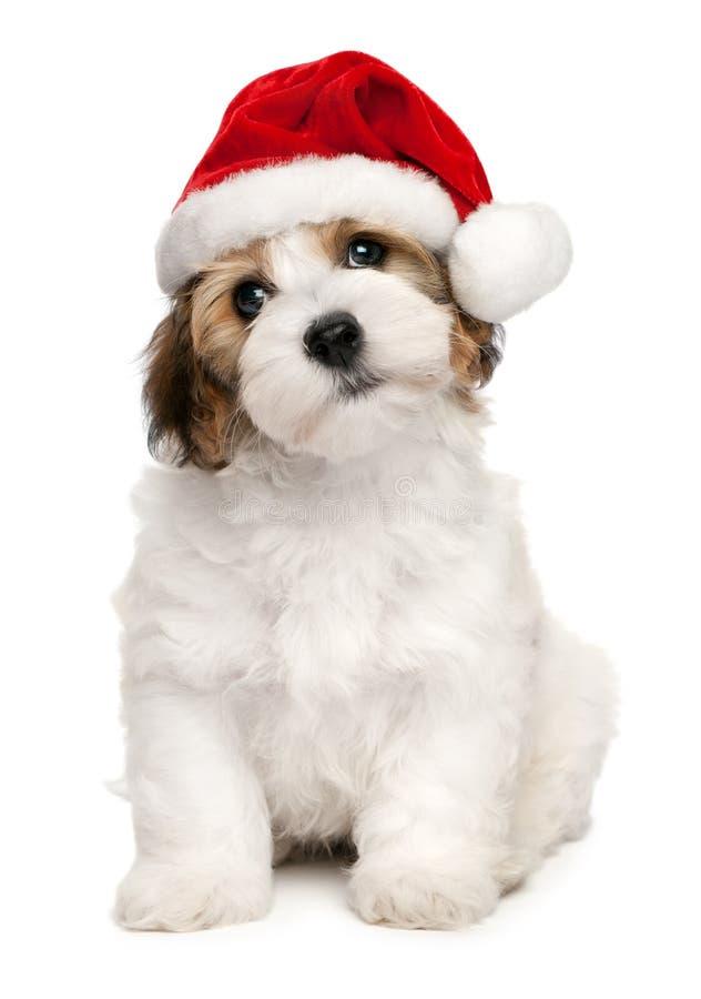 valp för gullig hund för jul havanese royaltyfria foton