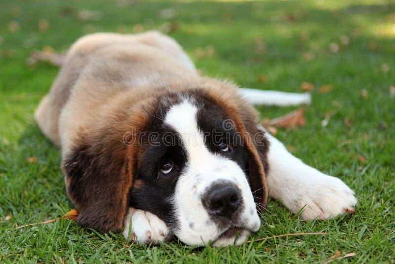 valp för hundgräs utomhus royaltyfri bild