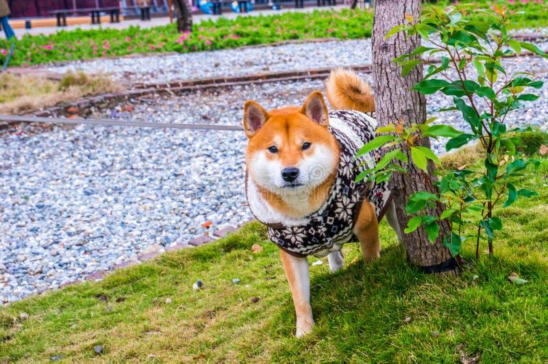 Valp för japanShiba inu royaltyfri bild