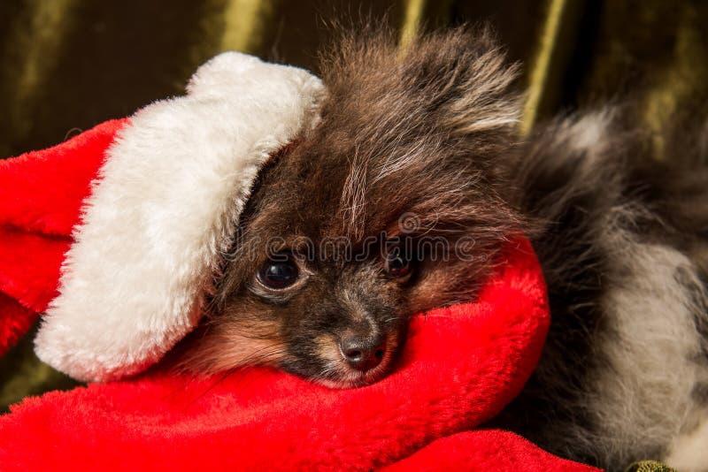 Valp för Pomeranian Spitzhund i den santa hatten på jul och nytt år arkivfoto