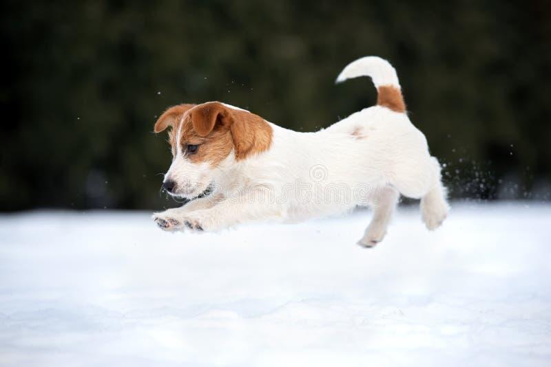 Valp för stålarrussell terrier som utomhus spelar i vinter royaltyfri fotografi