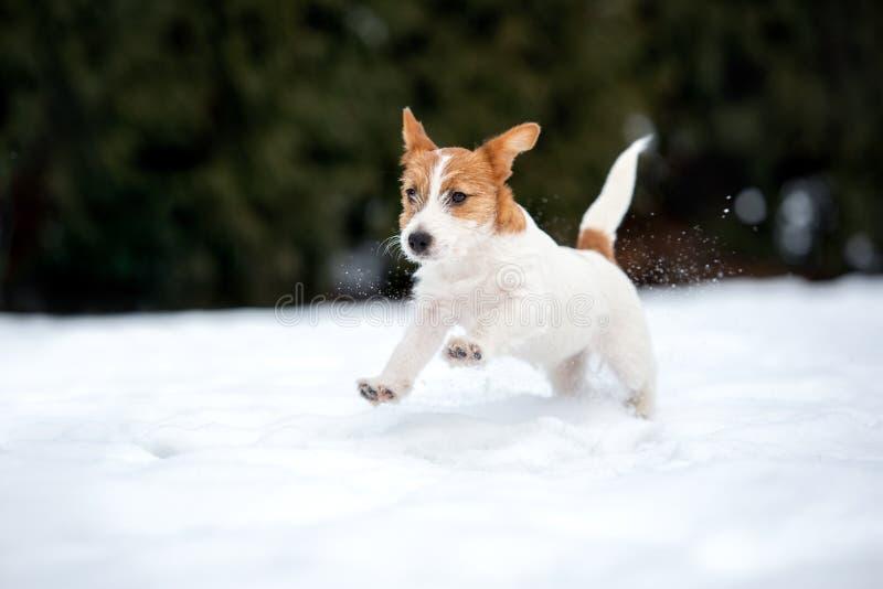 Valp för stålarrussell terrier som utomhus spelar i vinter arkivbilder