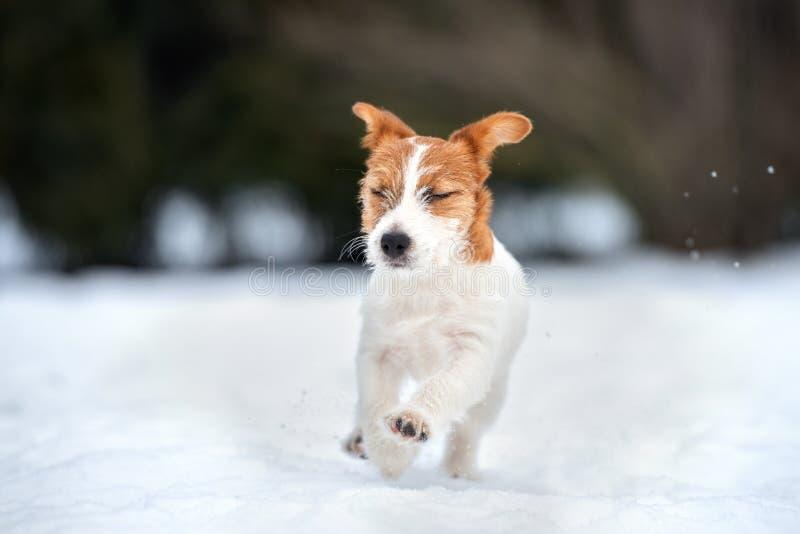 Valp för stålarrussell terrier som utomhus spelar i vinter royaltyfri bild