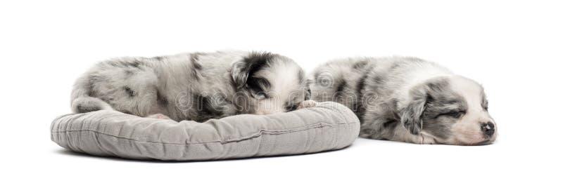 Valp för två korsning som sover i en lathund som isoleras på vit royaltyfri foto