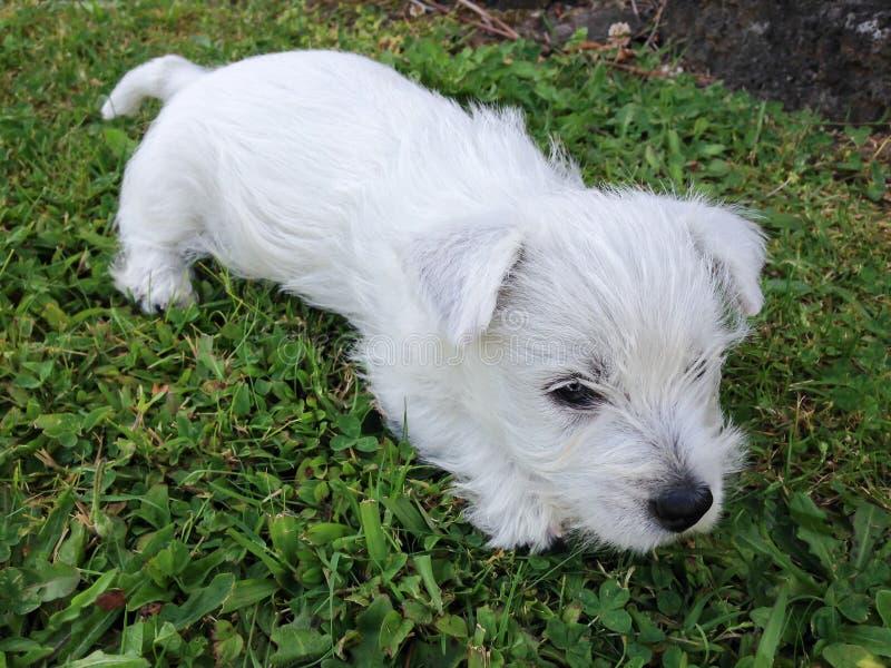 Valp för vit terrier för västra högland som vilar på gräsgräsmatta royaltyfria foton