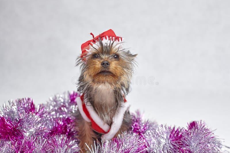 Valp för Yorkshire terrier i en santa hatt som sitter på vit bakgrund royaltyfri foto