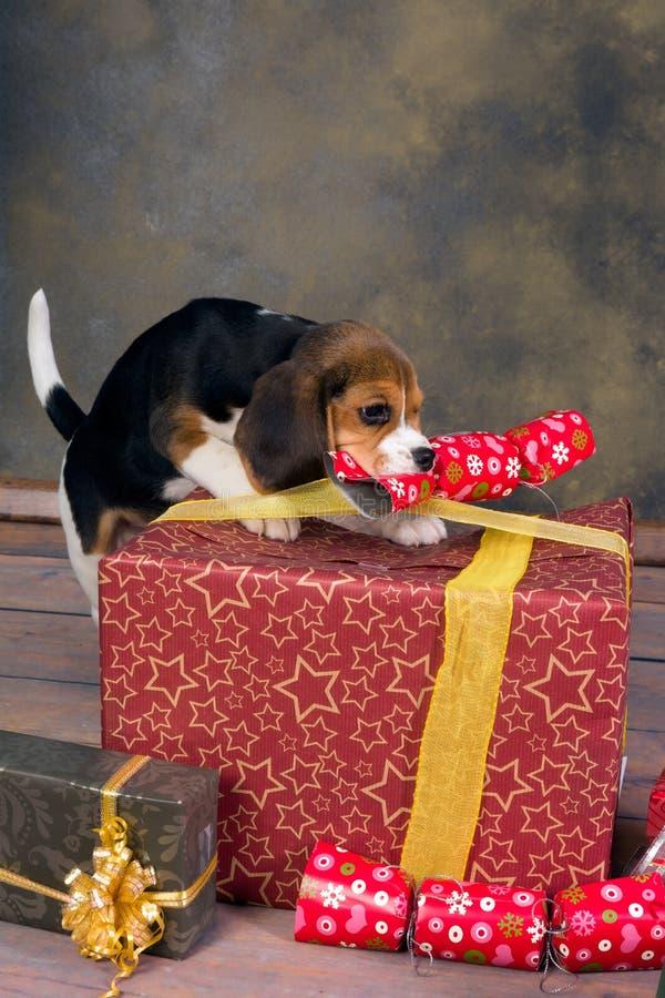 Valp med julgåvor royaltyfria foton