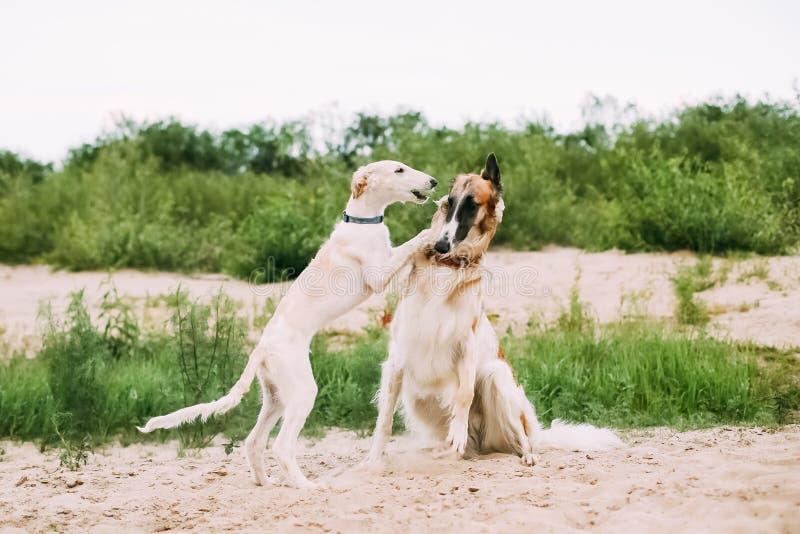 Valp- och vuxen människarysk vinthund som jagar Sighthound Russkaya Psovaya arkivbilder