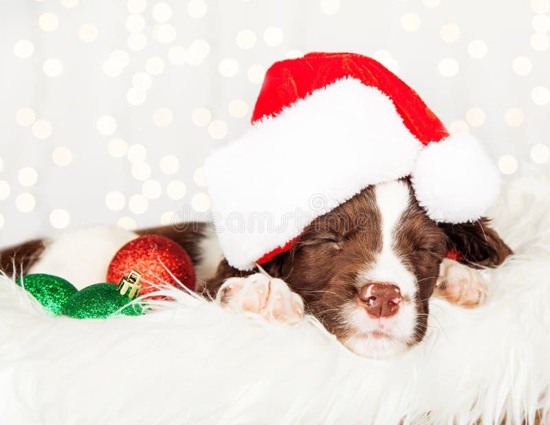 Valp som hemma bär Santa Hat While Napping On päls fotografering för bildbyråer