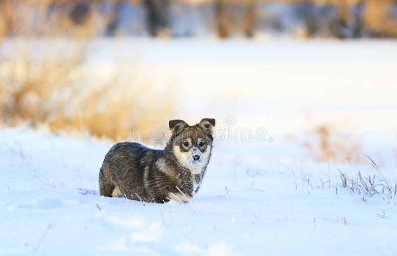 valp som spelar i snöfläcknäsan arkivfoton