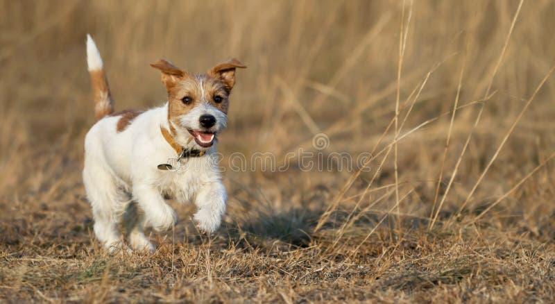 Valp som spelar - lycklig spring för älsklings- hund i gräset arkivfoton