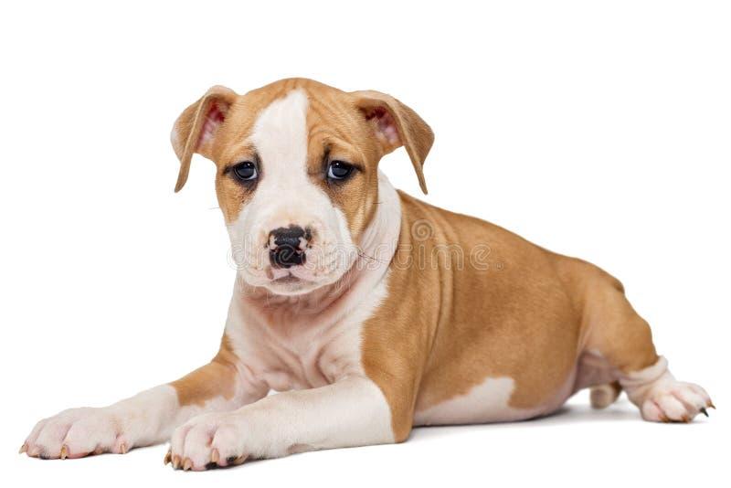Valp Staffordshire Terrier arkivbilder