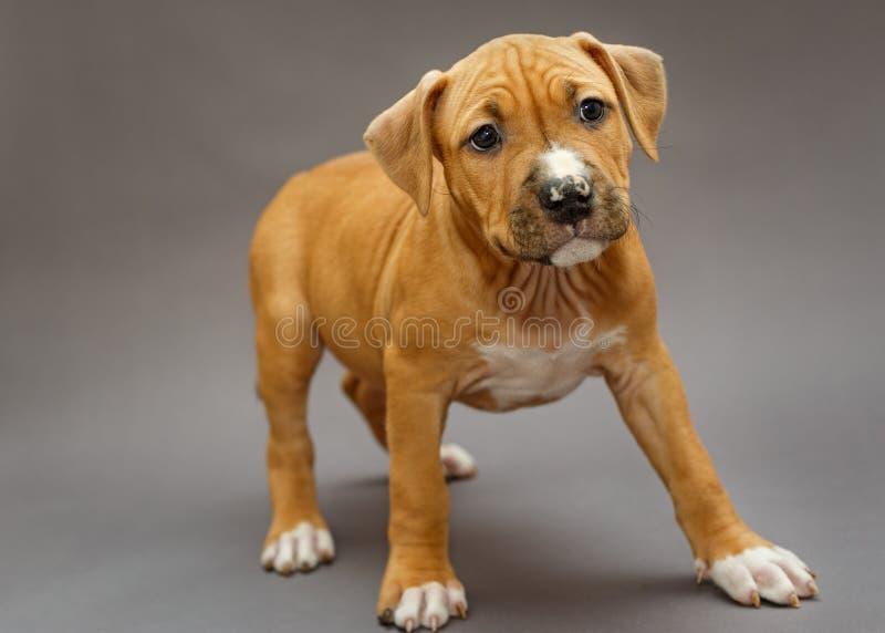 Valp Staffordshire Terrier royaltyfri fotografi
