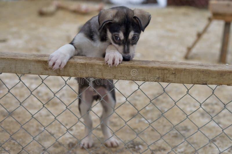 Valp två månader gammal skrovlig hund royaltyfria foton