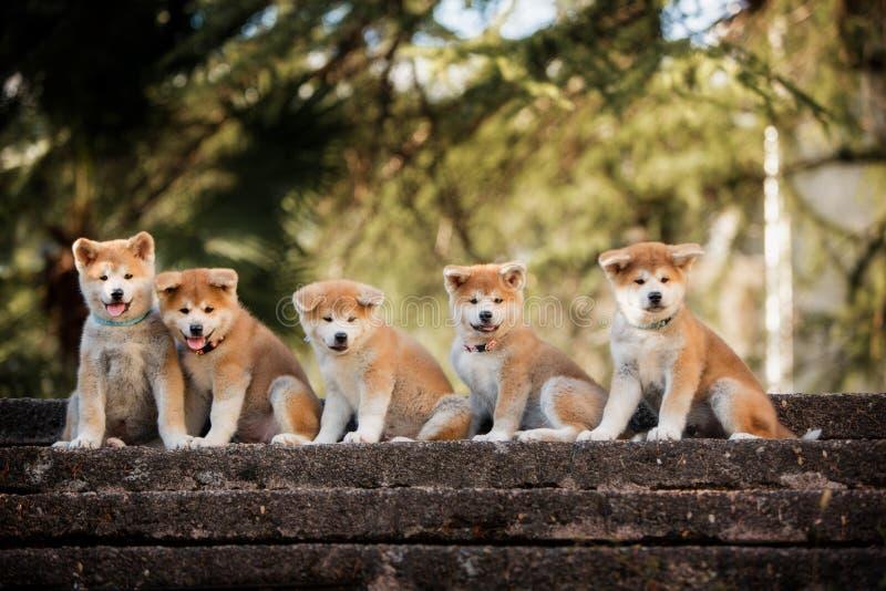 5 valpar av röd nytt års Akita hundkapplöpning som sitter på trappa i natur royaltyfri foto