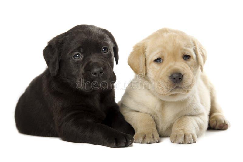 Valpar för Labrador Retriever royaltyfria bilder
