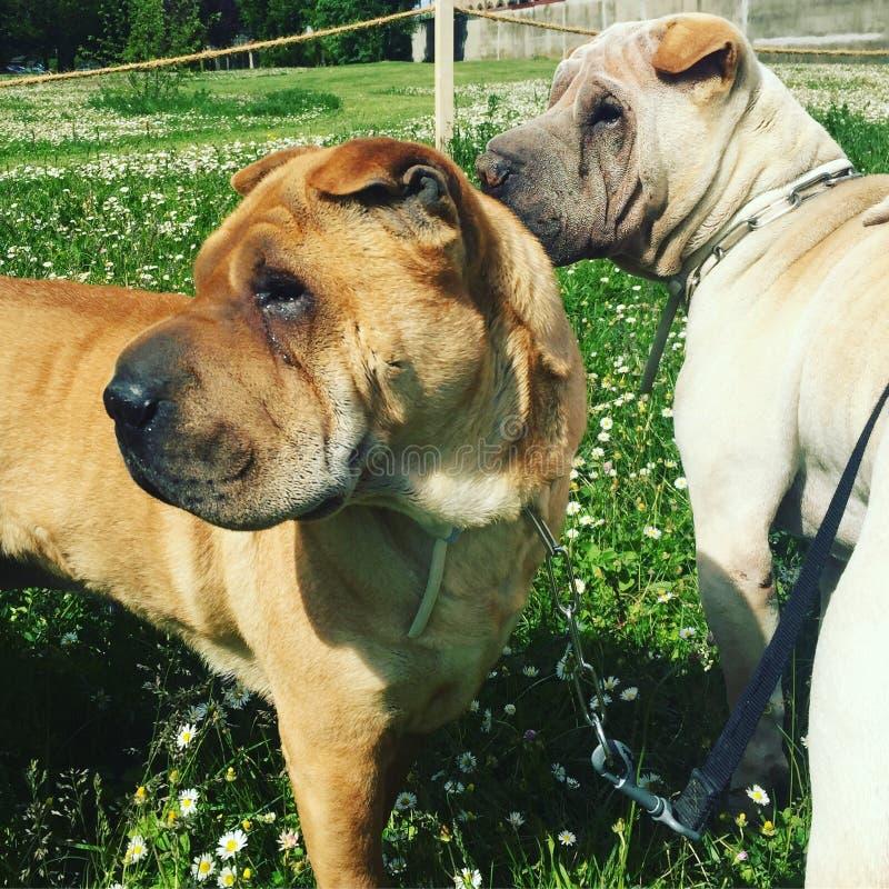 Valpar för valp för hund för Sharpei sharpeishundkapplöpning arkivbild