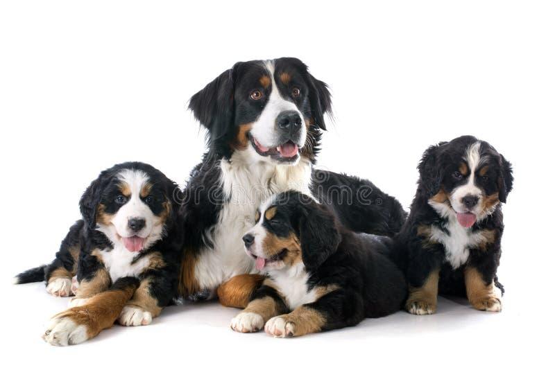 Valpar och vuxen bernese moutainhund arkivfoto