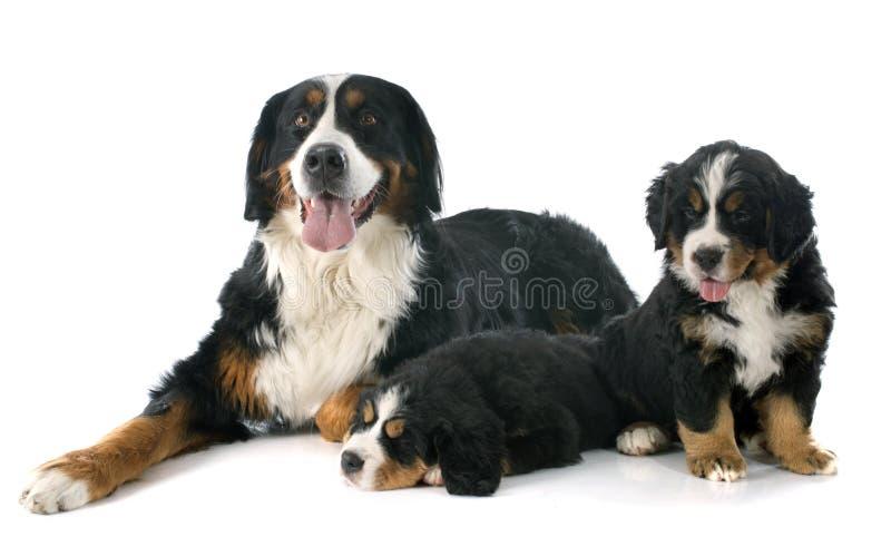 Valpar och vuxen bernese moutainhund fotografering för bildbyråer