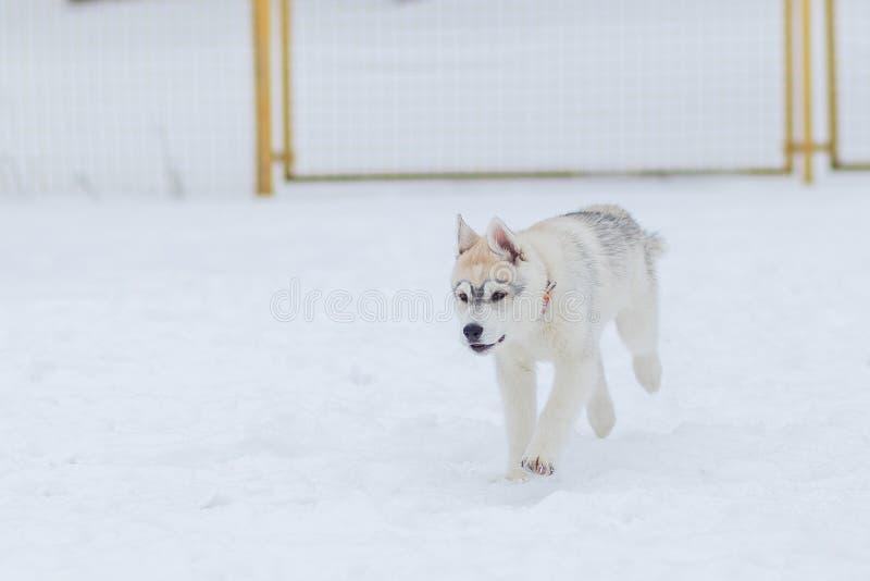 Valpar som spelar i den skrovliga sn?n fotografering för bildbyråer