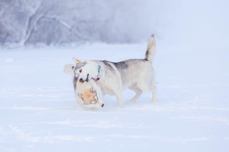 Valpar som spelar i den skrovliga sn?n arkivbild