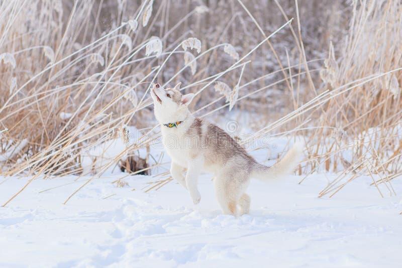 Valpar som spelar i den skrovliga sn?n royaltyfria bilder